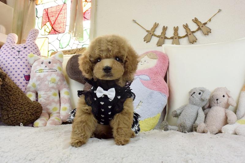 小さなサイズのトイプードル モコモコぬいぐるみ可愛い子犬