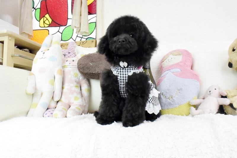 トイプードル性格の良いブラックの男の子(コロジちゃん)です!! 小さなサイズです!